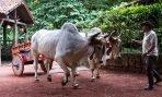 Costa Rica Guanacaste carreta tirada por cebues